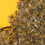 imperial honey ipa