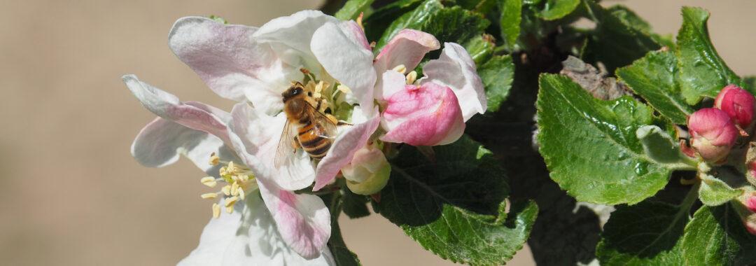 Bi i æbleplantagen på det økologiske landbrug Tolykkegård