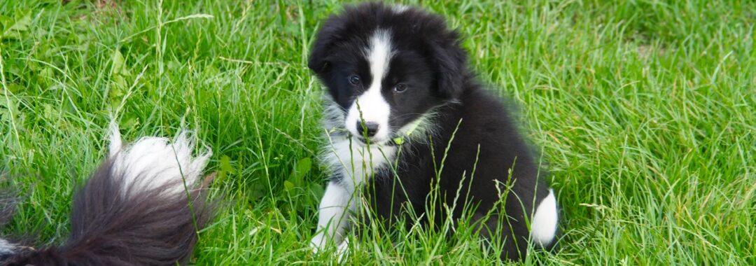 kina border collie australian shepherd hundehvalp tolykkegård